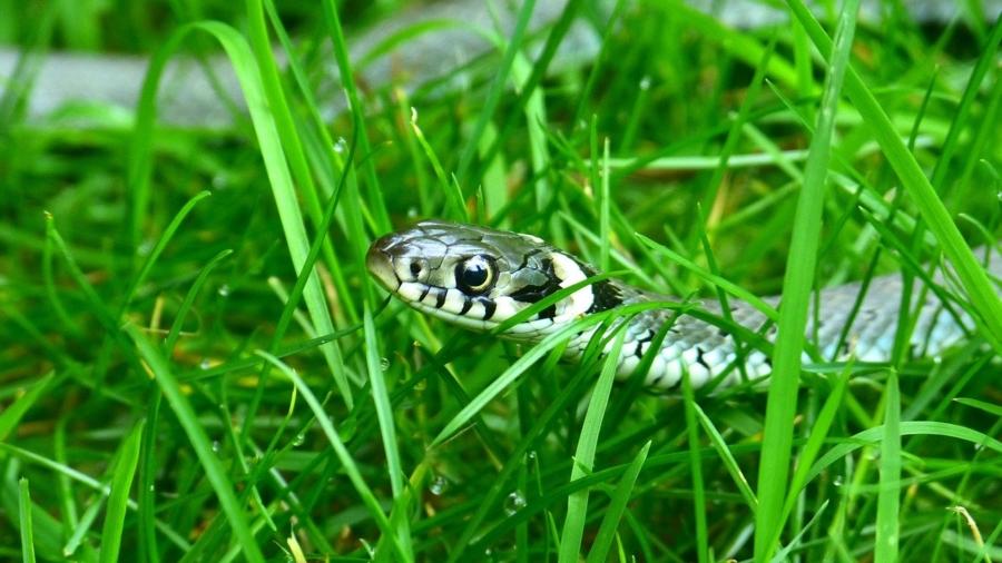 Addertje onder het gras